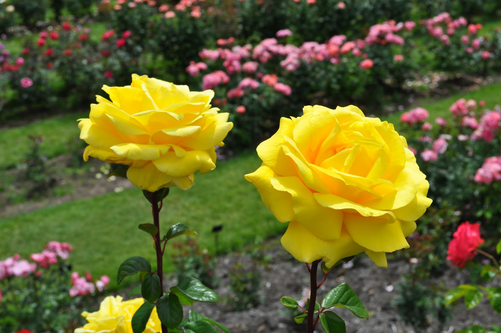 Most Beautiful Rose Gardens In The World K0umet1x