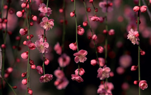 Sakura_Blossom_Awesome_Spring_Flowers_HD_Nature_Wallpaper