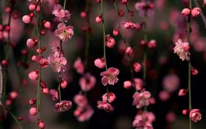 Sakura_Blossom_Awesome_Spring_Flowers_HD_Nature_Wallpaper